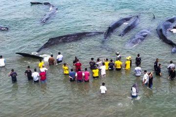 ინდონეზიის სანაპიროზე 10 ვეშაპი გამოირიყა