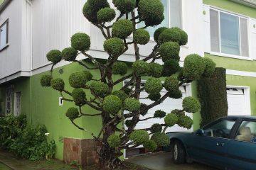 ექსტრავაგანტული ხეები სან-ფრანცისკოში