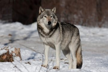 სოფელ ურთას მგლები შეესივნენ