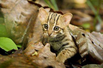 BBC-იმ მსოფლიოში ყველაზე პატარა კატა გაგვაცნო
