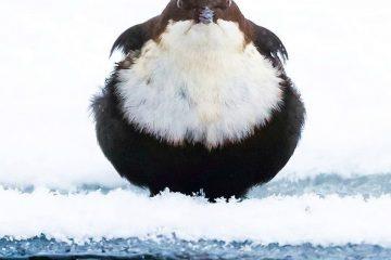 ბრაზიანი ჩიტები, რომლებსაც თვალს ვერ მოწყვიტავთ