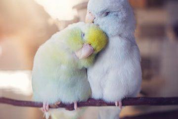 ორი თუთიყუშის ამაღელვებელი სიყვარულის ისტორია