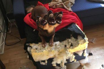 ინტერნეტის ძალიან სასაცილო რეაქციები ძაღლს, რომელმაც დივანი დაგლიჯა