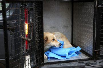 ცეცხლსასროლი იარაღით დაჭრილი ძაღლი წიქორიძის ტრავმირებულ ძაღლთა თავშესაფარში გადაიყვანეს