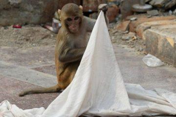 ინდოეთში ბავშვის გამტაცებელ მაიმუნს ეძებენ