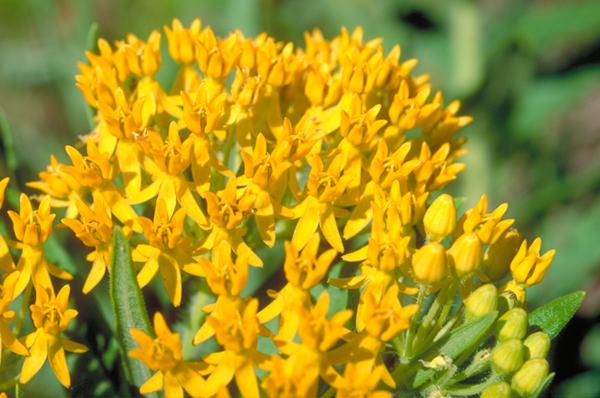 ლილი ფოფხაძე – მავნე ყვავილი